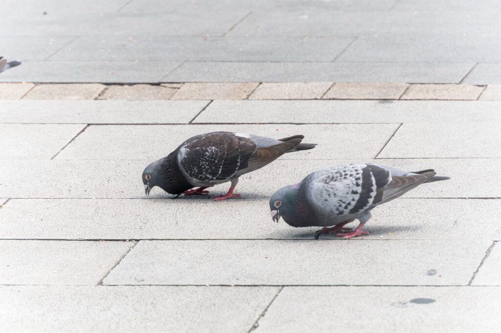 二羽の鳩の例