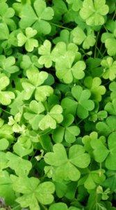 緑が鮮やかなたくさんのクローバーを写した待受