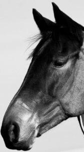 アップで馬の頭を写したモノクロ写真の待受